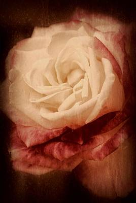 Antique Rose - In Full Bloom Poster by Angie Tirado