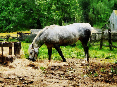 Appaloosa Eating Hay Poster by Susan Savad
