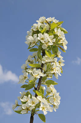 Apple Blossom In Spring Poster