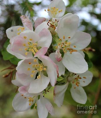 Apple Blossom Special 2 Poster by Barbara Griffin