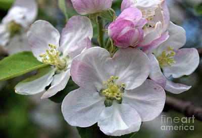 Apple Blossoms Closeup Poster by William Tasker