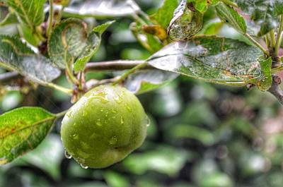 Poster featuring the photograph Apple In Rain by Isabella F Abbie Shores FRSA