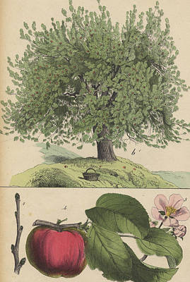 Apple Tree And Fruit Poster