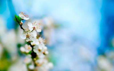 Apple Tree Bloom Poster