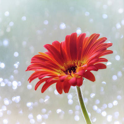 April Showers Gerbera Daisy Square Poster by Terry DeLuco