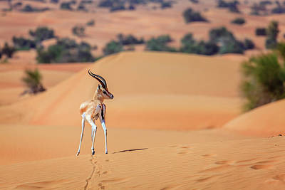 Poster featuring the photograph Arabian Gazelle by Alexey Stiop