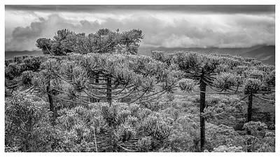 Araucaria Angustifolia-campos Do Jordao-sp Poster