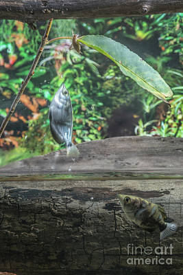 Archer Fish Jumping To Eat A Cricket Off A Leaf Poster