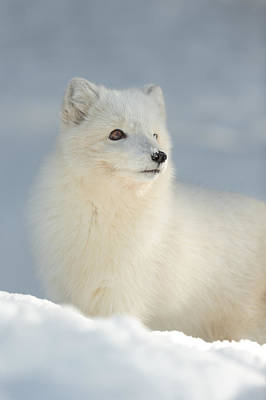 Arctic Fox In Winter Poster by Andy Astbury