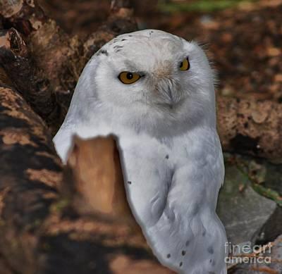 Arctic Snow Owl Poster