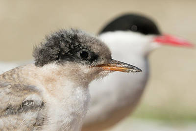 Poster featuring the photograph Arctic Tern Chick With Parent - Scotland by Karen Van Der Zijden