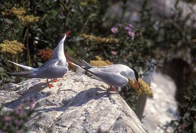 Arctic Tern Pair Near Nest Poster by John Burk