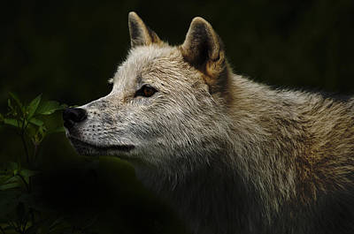 Poster featuring the photograph Arctic Wolf Portrait by Michael Cummings