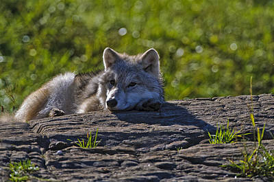 Arctic Wolf Pup 2 Poster