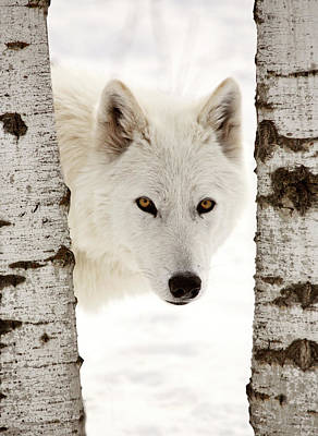 Arctic Wolf Seen Between Two Trees In Winter Poster by Mark Duffy