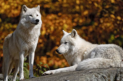 Arctic Wolves On Rocks Poster