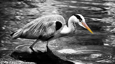 Ardea Cinerea - Grey Heron Poster by Mark Rogan