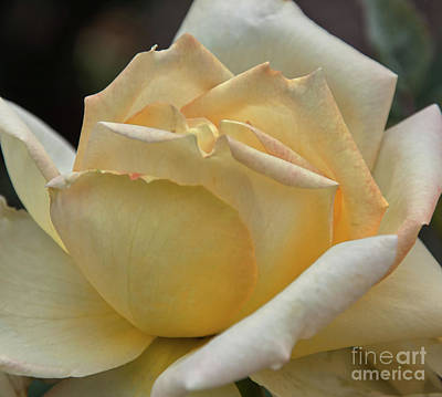 Arizona Territorial Rose Garden - Pale Yellow  Poster by Kirt Tisdale