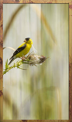 Artistic American Goldfinch 2013-1 Poster