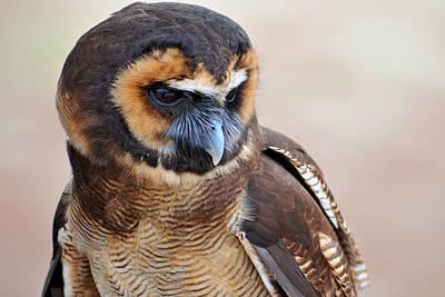 Asian Brown Wood Owl Poster by Alan Lenk