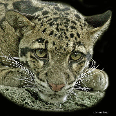 Asian Cloud Leopard 2 Poster by Larry Linton