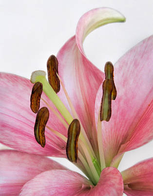 Asian Lily Poster by David and Carol Kelly