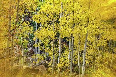 Aspen Autumn Burst Poster by Bill Gallagher