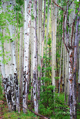 Poster featuring the photograph Aspen Grove In The White Mountains by Donna Greene