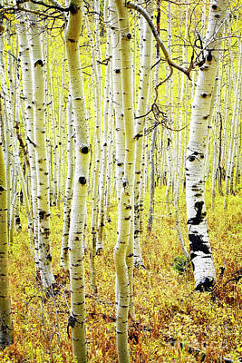 Poster featuring the photograph Aspen Grove by Scott Kemper