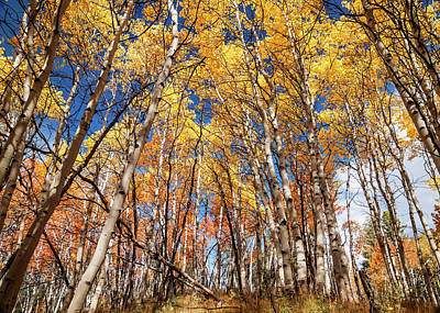 Aspen Grove With Peak Autumn Color Poster