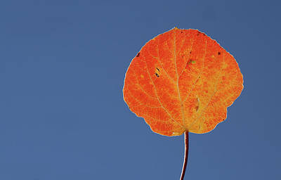 Poster featuring the photograph Aspen Leaf 1 by Marie Leslie