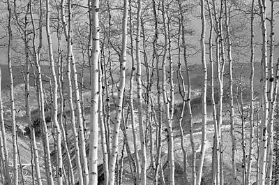 Aspen Stand In Black And White Poster
