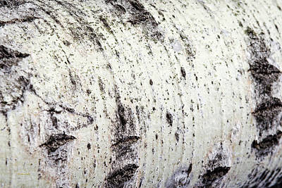 Poster featuring the photograph Aspen Tree Bark by Christina Rollo