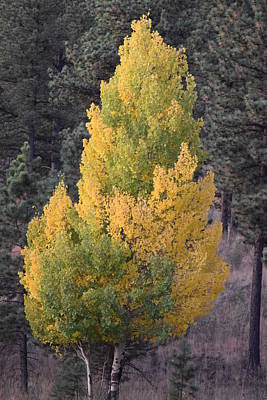 Aspen Tree Fall Colors Co Poster