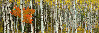 Aspen Trees In A Forest, Valley Trail Poster by Panoramic Images