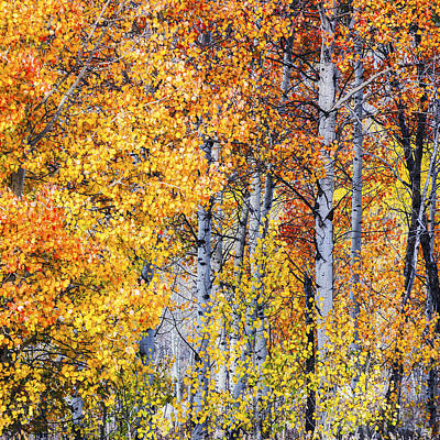 Aspen Trees In Autumn Glory Poster by Vishwanath Bhat