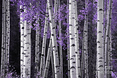 Aspen Trunks Lavender Leaves Poster by John Stephens