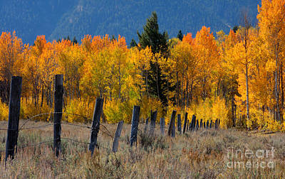 Aspens And Fence Poster
