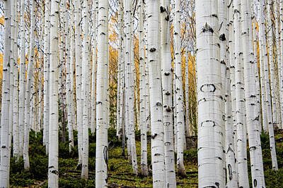 Aspens And Gold Poster