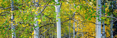 Aspens In Autumn Panorama 2 - Santa Fe National Forest Poster