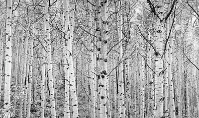Aspens In High Key Poster