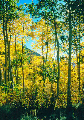 Aspens In Mammoth Poster