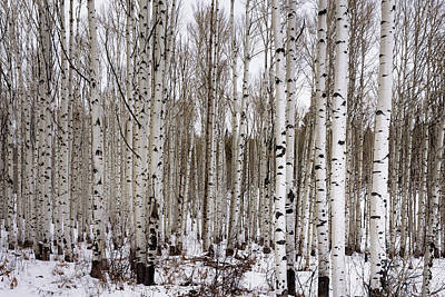 Aspens In Winter - Colorado Poster