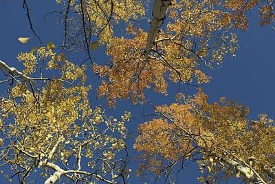 Poster featuring the photograph Aspens Looking Up by Mary Hone