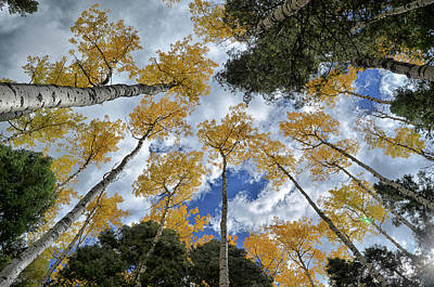 Poster featuring the photograph Aspens Reaching by Kevin Munro