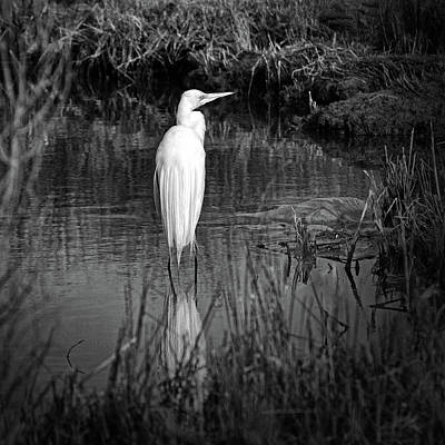 Assateague Island Great Egret Ardea Alba In Black And White Poster