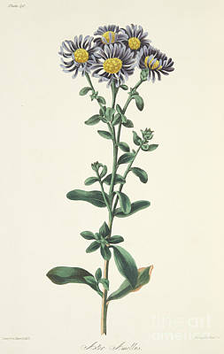 Aster Amellus Poster by Margaret Roscoe