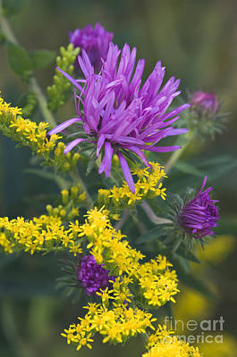 Aster And Goldenrod - D009195 Poster by Daniel Dempster