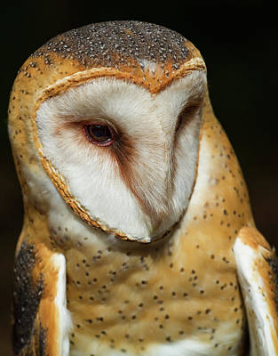 Athena The Barn Owl Poster