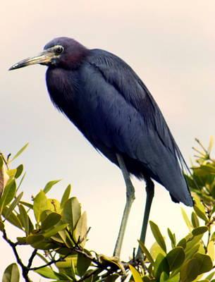 Audubon Blue Poster by Karen Wiles